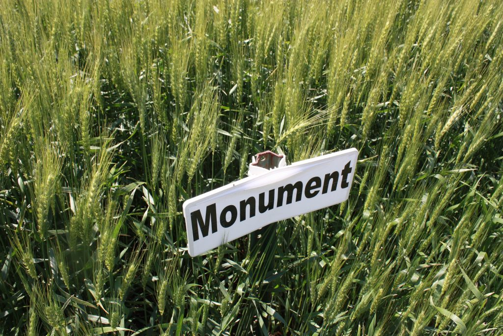This agronomic image shows AgriPro brand winter wheat variety SY Monument.