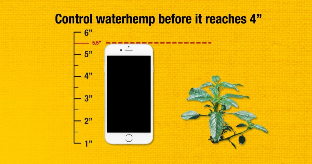 This chart compares the height of a weed against a cell phone.