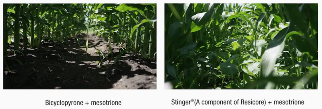 this agronomic image compares the higher residual control of Bicyclopyrone plus mesotrione against Stinger, a component of Resicore plus mesotrione.