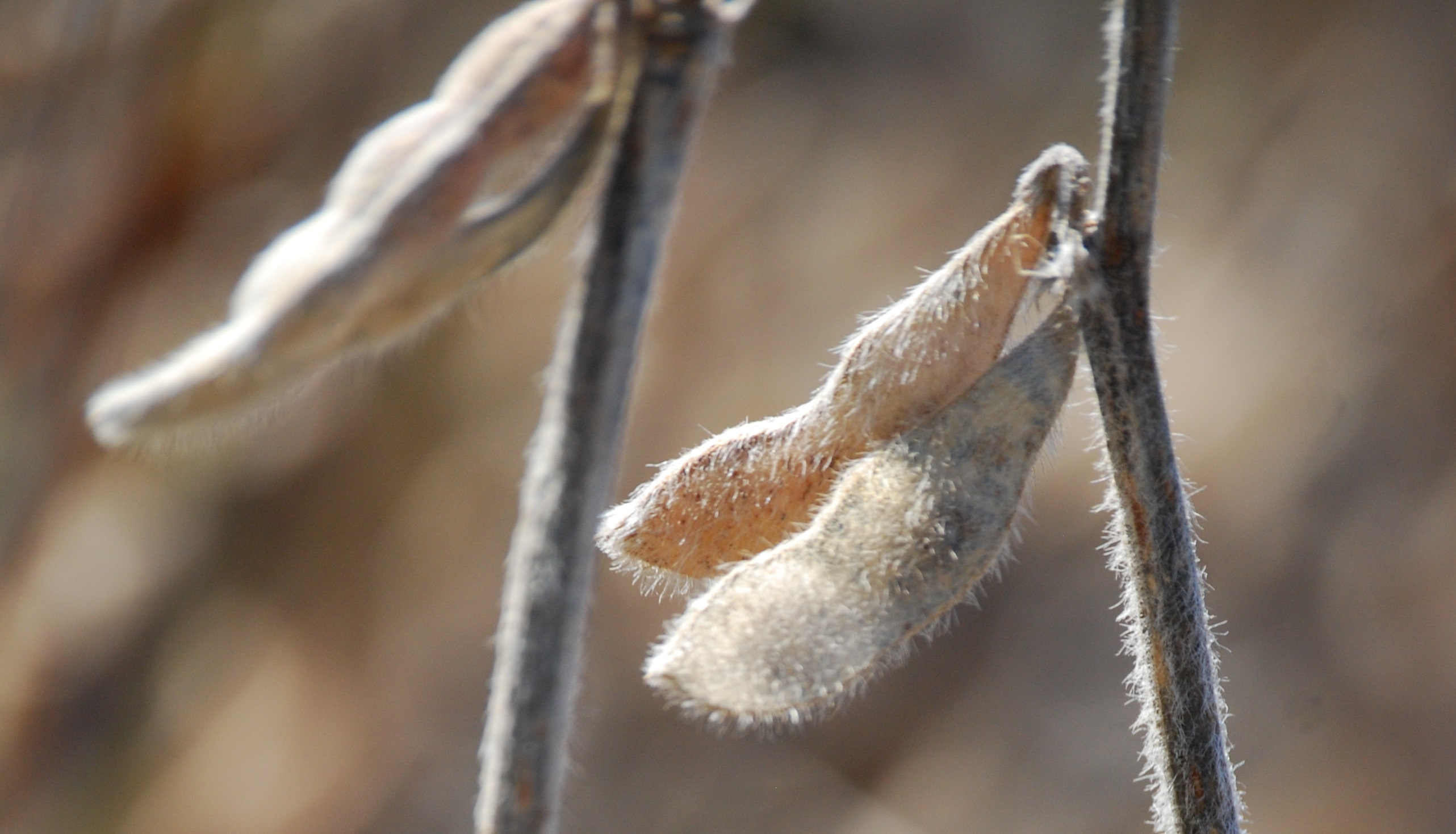 This agronomic image shows soybeans.