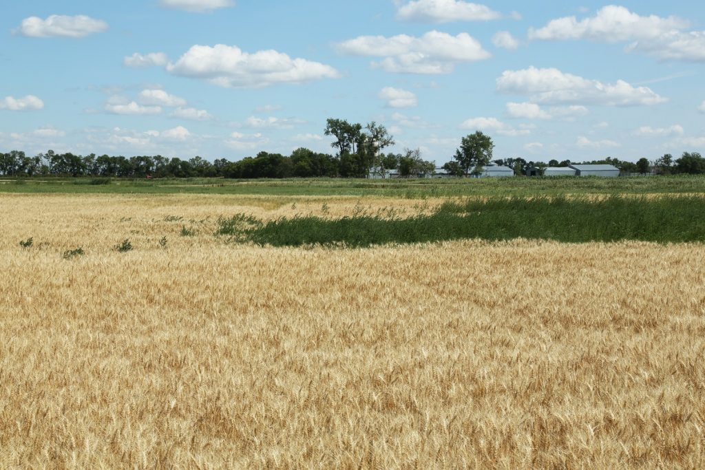 This agronomic image shows Talinor-controlled weeds in a North Dakota field compared to weeds failed to be suppressed by Huskie Complete.