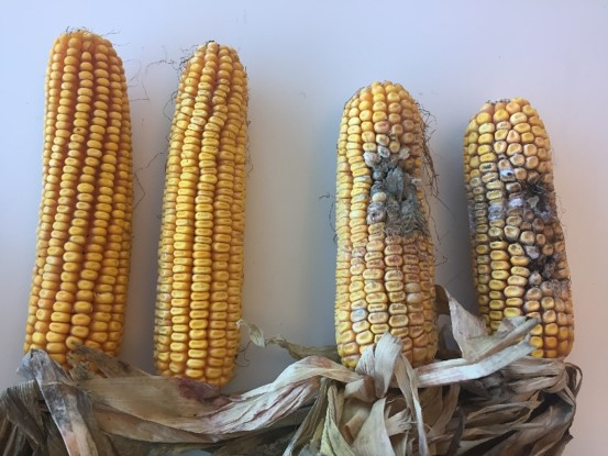 This image shows a corn hybrid with Agrisure Viptera trait (left) vs. non-Viptera hybrid (right)