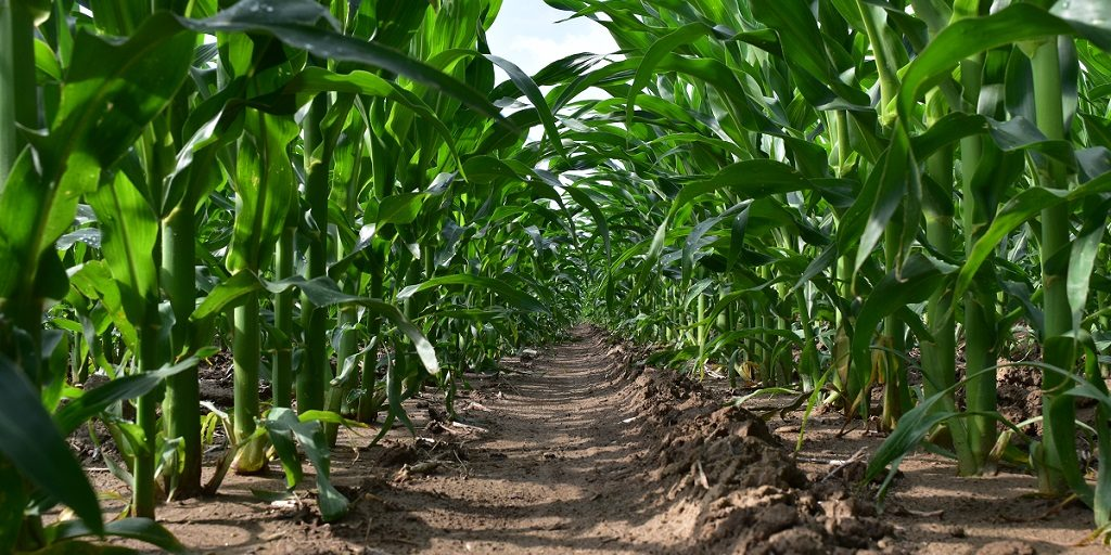 This agronomic image shows a clean corn field in Ohio treated with Acuron.