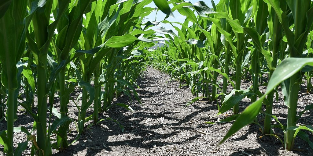 This agronomic image shows a clean cornfield in Clarksdale, MO after applications of Acuron with atrazine and glyphosate.