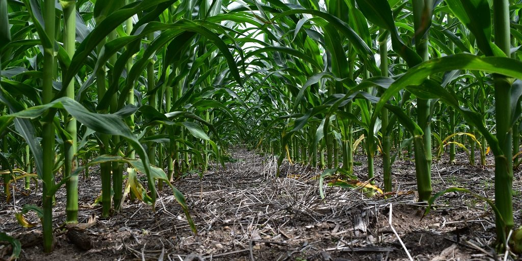 This agronomic image shows a corn field cleared by Acuron in Indiana.