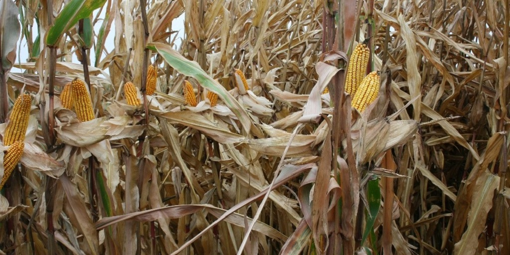 This agronomic image shows Nk corn hybrids at a Grow More Experience site.