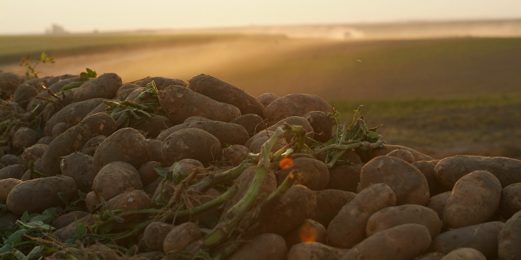 This agronomic photo shows potatoes.