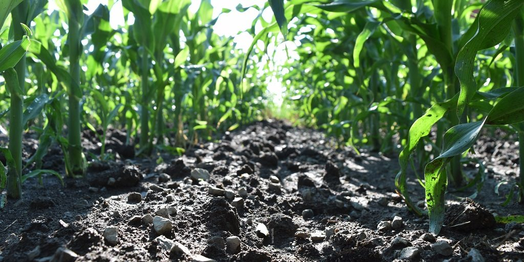 This agronomic image shows a grower's clean cornfield in Ohio following an application of Acuron.