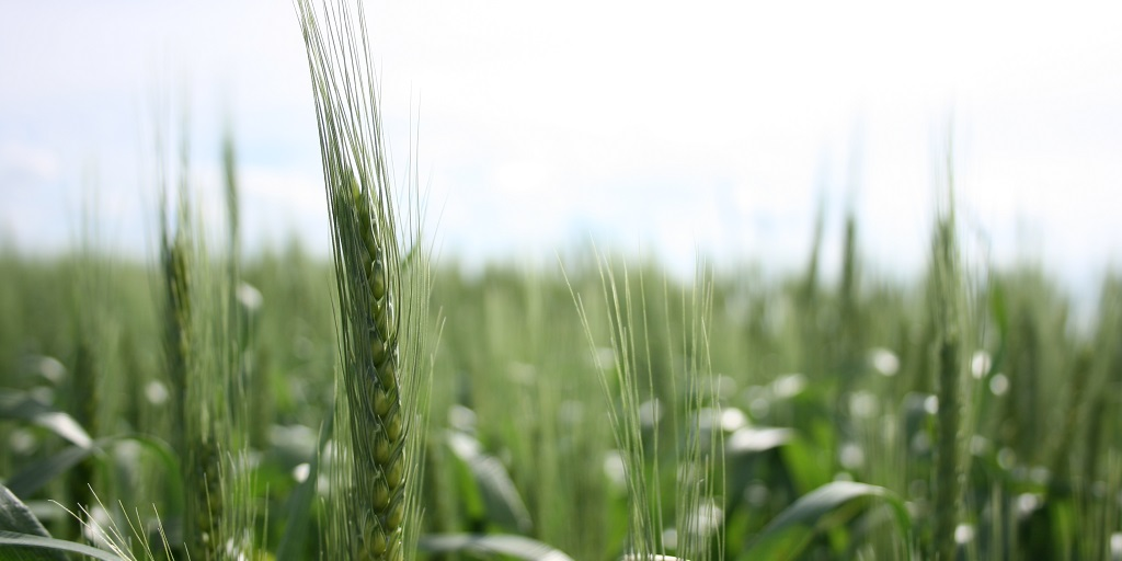This agronomic image shows AgriPro SY Rockford wheat.
