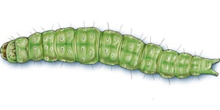 This agronomic image shows a diamondback moth caterpillar.