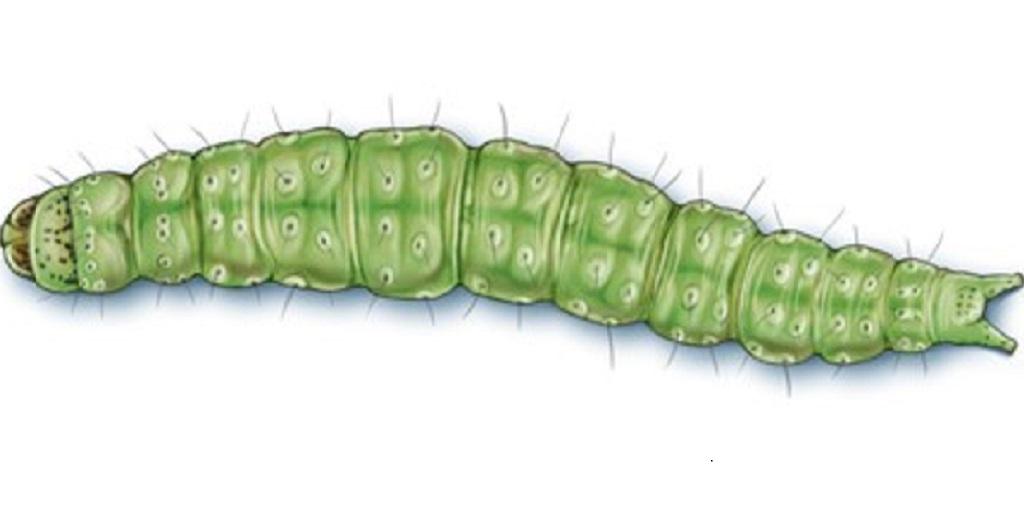 This agronomic image shows a diamondback moth caterpillar.