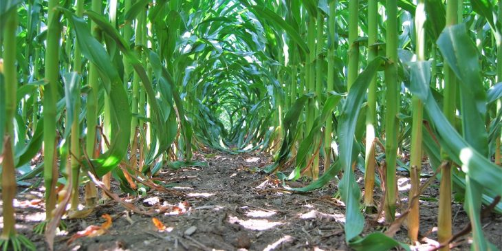 This agronomic image shows a clean cornfield after Acuron applied pre-emergence at 2.5 qt/A with 1 qt/A atrazine