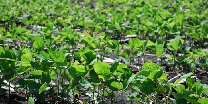 This agronomic image shows a soybean field.
