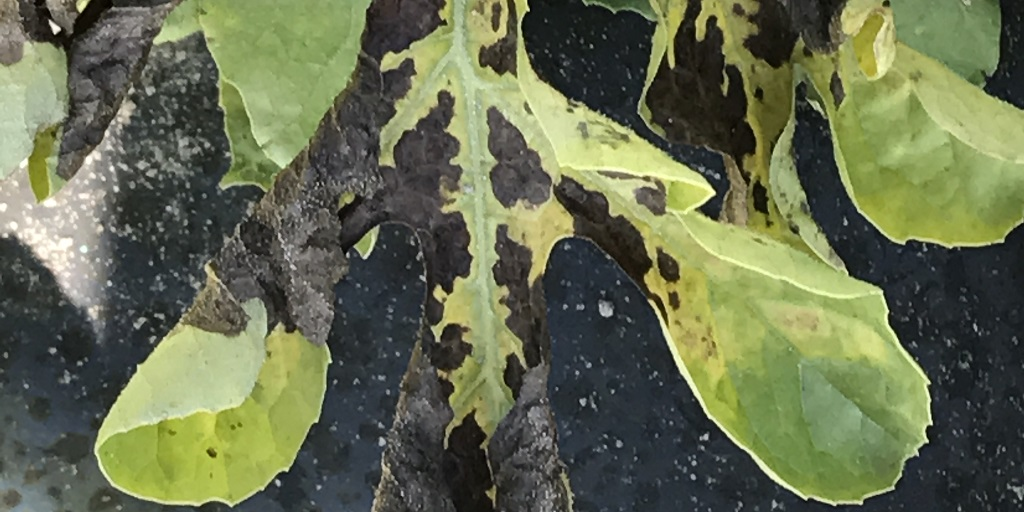 This agronomic image shows gummy stem blight damage on watermelon.