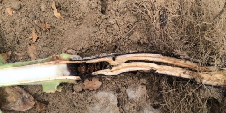 This agronomic image shows a cut tobacco stem, exposing blackened necrotic pith.