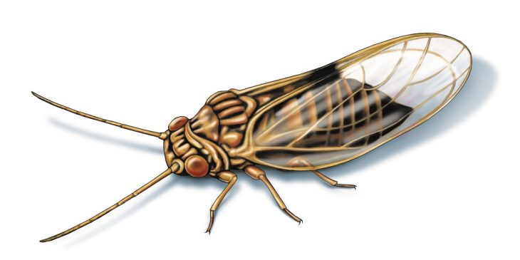 This illustrated image shows the insect pear psylla.