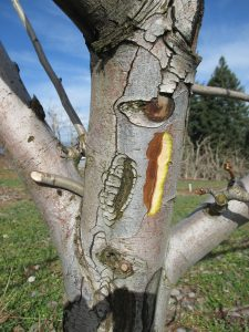 This agronomic image shows fire blight in a pome tree.