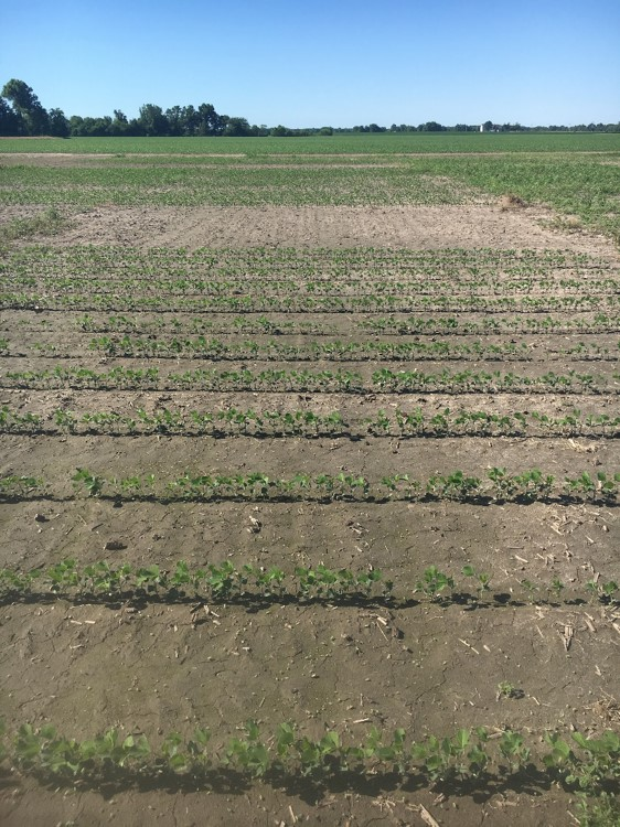 This agronomic image shows burndown followed by vertical tillage in soybeans.