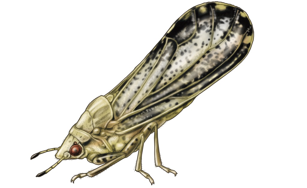 This agronomic image shows an Asian citrus psyllid.