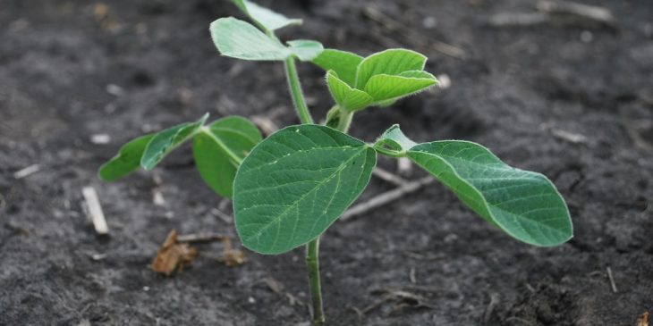 This agronomic image shows a soybean seedling.