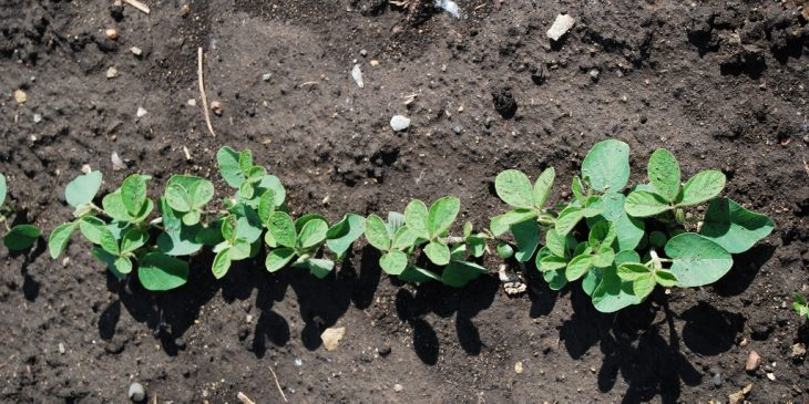 This agronomic image shows early soybean plants.