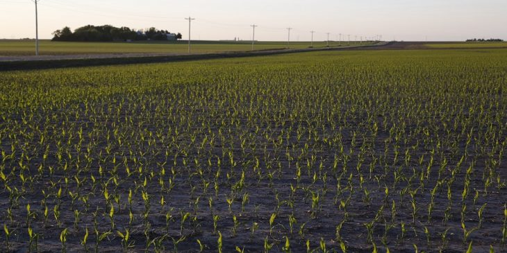 This agronomic image shows young corn.