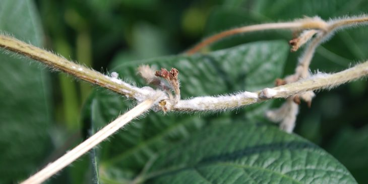 This agronomic image shows bleached soybean stems infected with white mold