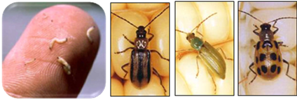 This agronomic image shows Western, Northern and Southern corn rootworm.