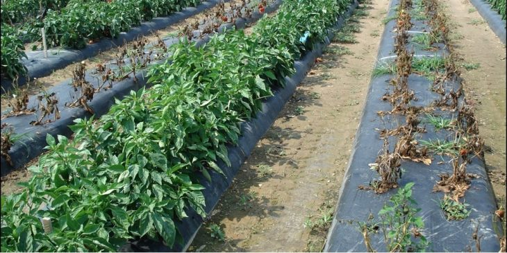This agronomic image shows peppers on the left treated with Orondis Gold compared to untreated on the right.